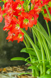Red Amaryllis Royalty Free Stock Image