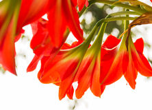 Red Amaryllis Royalty Free Stock Photography