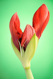 Red Amaryllis flower. Close-up image of a red Amaryllis (Christmas flower) bud ready to blossom on green background Stock Photos