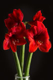 Red amaryllis flower on black background. Hippeastrum hortorum. Stock Photo