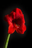 Red amaryllis flower on black background. Hippeastrum hortorum. Royalty Free Stock Photography