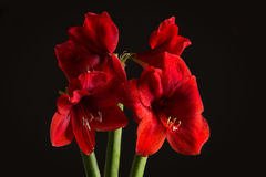 Red amaryllis flower on black background. Hippeastrum hortorum. Stock Images