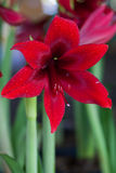 Red Amaryllis flower blooms in springtime.  Royalty Free Stock Images