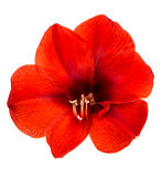 Red amaryllis flower with clipping path Royalty Free Stock Photo