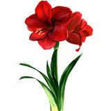 Red Amaryllis flower, hippeastrum. Watercolor painting on white background Stock Photos