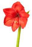 Red amaryllis flower isolated on white background Royalty Free Stock Photo