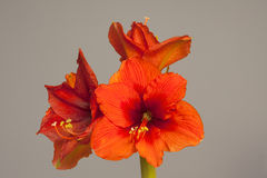 Red Amaryllis flower, multiple blossoms Stock Photo
