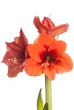 Red Amaryllis flower, multiple blossoms, isolated on white Royalty Free Stock Photos