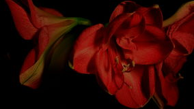 Red Amaryllis Flower Slowly Moving Time Lapse stock footage