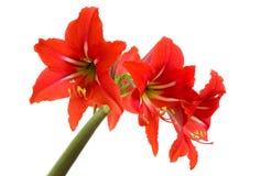Red Amaryllis flower on white. Background Stock Images
