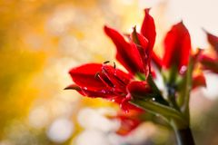 Red amaryllis flower on yellow bokeh background Royalty Free Stock Image