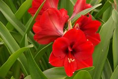 Red Amaryllis  flowers in a greenhouse Stock Photography