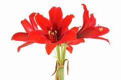Red Amaryllis gramophone type flowers Royalty Free Stock Photo