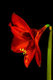 Red Amaryllis Hippeastrum in full bloom Vertical with stem stock images