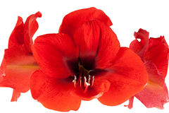Red Amaryllis isolated Royalty Free Stock Photos