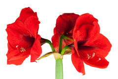 Red Amaryllis isolated Stock Image