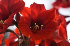 Red Amaryllis Royalty Free Stock Images