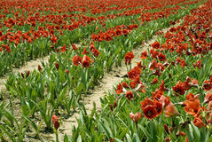 Red Amaryllis Rows. Farming with Amaryllis in Zambia, Africa stock photo