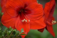 Red Amaryllis Royalty Free Stock Photo
