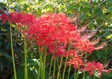 Red amaryllises Stock Images