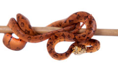 Red Amazon tree boa, 7 days old, isolated on white Stock Photos