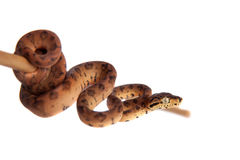 Red Amazon tree boa, 7 days old, isolated on white Royalty Free Stock Photography