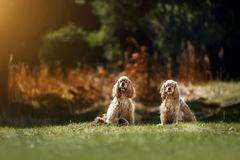 Red American Cocker Spaniel in sunny park stock photography