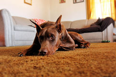 Red American Doberman Stock Photos