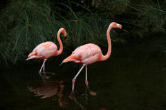 Red American Flamingos. Argentina fauna. Royalty Free Stock Photos