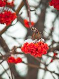 Red American mountain ash (rowan) berries. royalty free stock photo