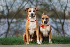Two american staffordshire terrier dogs posing outdoors. Red american staffordshire terrier dogs outdoors Stock Photo