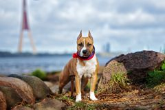 American staffordshire terrier puppy posing outdoors royalty free stock images