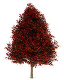 Red american sweetgum tree isolated on white Royalty Free Stock Image