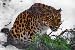 Red Amur leopard gnaws a fir branch on a white snowy background royalty free stock photo