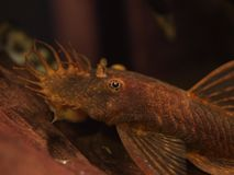Red Ancistrus Catfish Royalty Free Stock Images