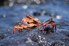 Red And Black Crabs On Wet Rocks Royalty Free Stock Images