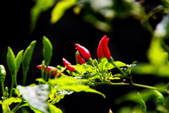 Free Red And Green Chilli Peppers In Organic Farm Stock Image - 91710191
