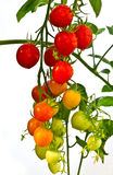 Red And Green Tomatoes Royalty Free Stock Photography
