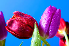 Red And Purple Tulip Royalty Free Stock Photography
