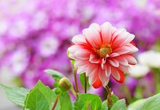 Free Red And White Dahlia Flower With Spring Colorful Background Stock Photos - 182853463