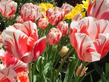 Free Red And White Striped Tulips In The Park Royalty Free Stock Photo - 109707115