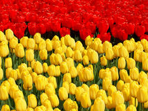 Free Red And Yellow. Royalty Free Stock Photo - 70982325