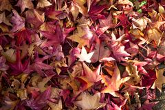 Free Red And Yellow Fall Leaves Stock Image - 103359941