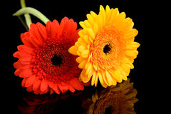 Free Red And Yellow Gerber Flowers Stock Photos - 11469513