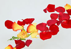 Red And Yellow Rose Petals Floating In Water Royalty Free Stock Photos