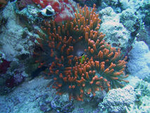 Red anemone. Very rare anemone by red color Stock Photography