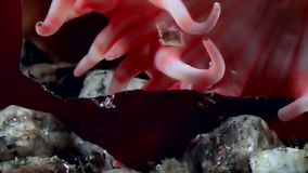 Red anemone actinia close up underwater on seabed of White Sea. stock video footage