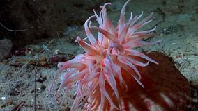Red anemone actinia close up underwater on seabed of White Sea. stock video