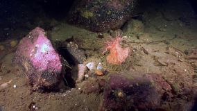 Red anemone actinia underwater on seabed of White Sea. stock video footage