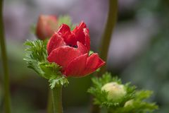 Red anemone blooming in garden during early spring day. Anemone flowers blooming bright red in the garden during spring stock image